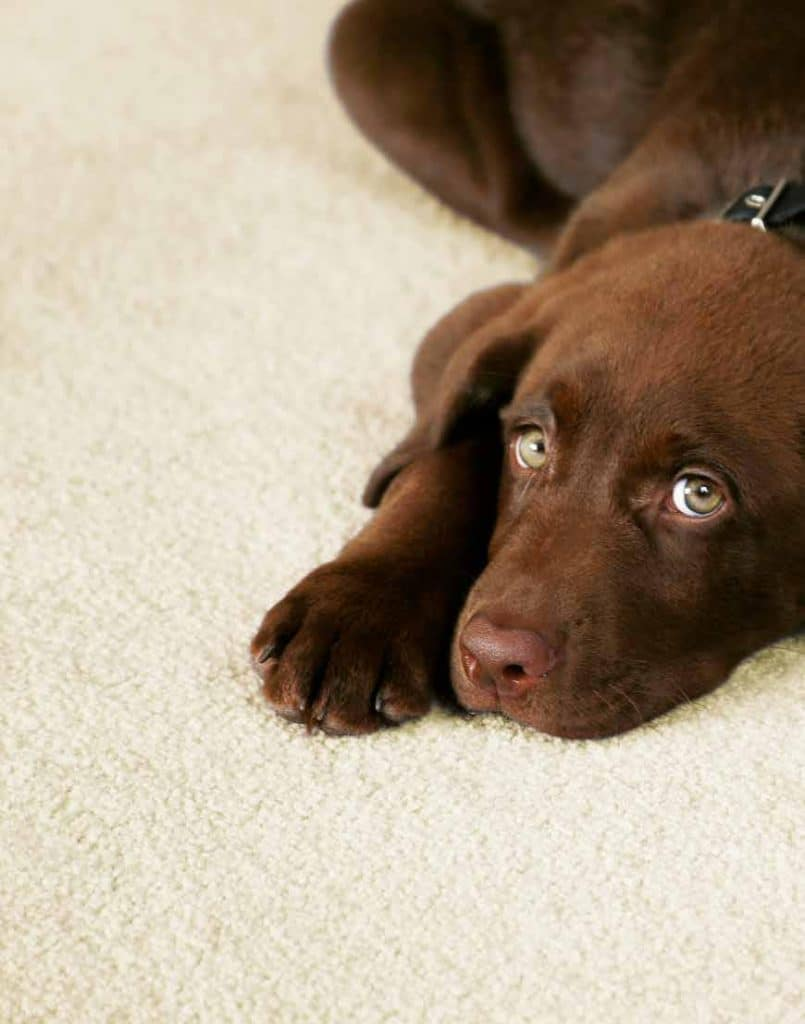Westex Carpets For Pets in Barnsley